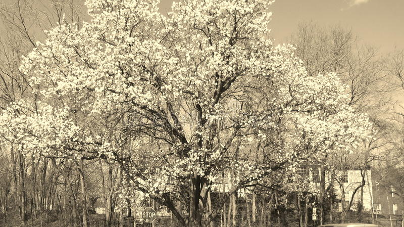 blomstrar white royaltyfria foton