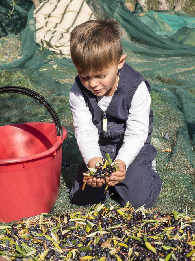 Blond baby clad in the country collects olives with her hands on royalty free stock images