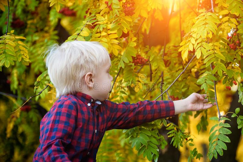 Blond boy in a plaid shirt touches the leaves of mountain ash. Autumn, yellow leaves royalty free stock photos