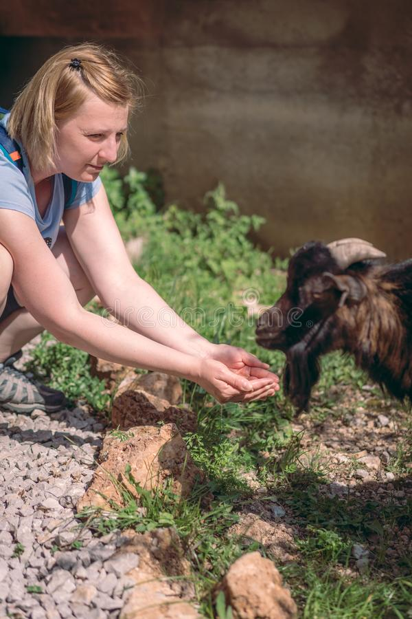 Passing water to a goat on a farm royalty free stock photo