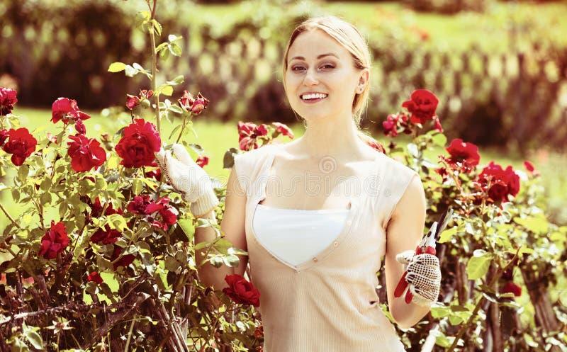 Blond kobieta bierze opiekę czerwieni róży krzaki obrazy royalty free