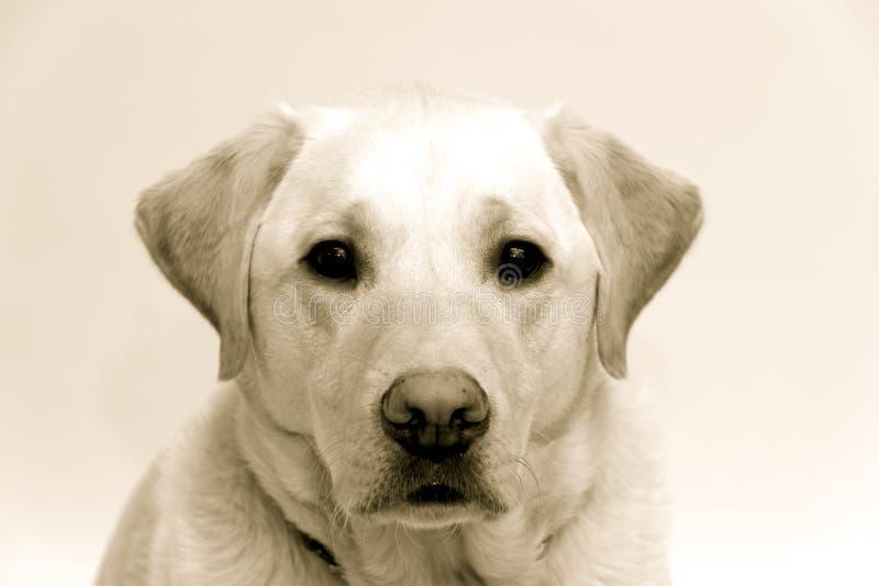 Blond labrador arkivbild