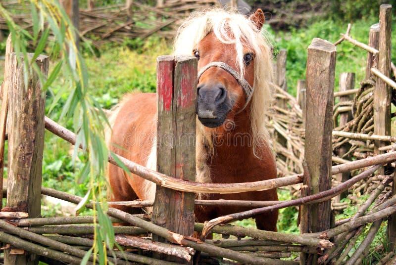 Blond pony stock photography