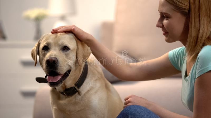 Blond woman stroking beautiful labrador retriever dog at home, lovely house pet stock photos