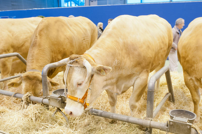 Download Blonde of Aquitaine Cow editorial image. Image of show - 23582655