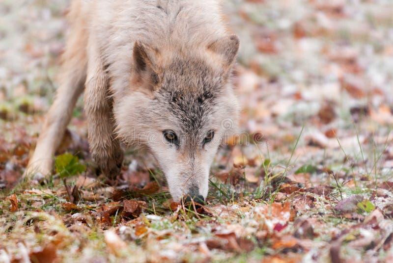 Blonde Atemzüge des Wolf-(Canis Lupus) bedacht lizenzfreies stockfoto