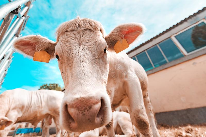 Blonde d`Aquitaine cattle on dairy farm. Blonde d`Aquitaine cattle cows on dairy farm, domestic animal husbandry stock photography