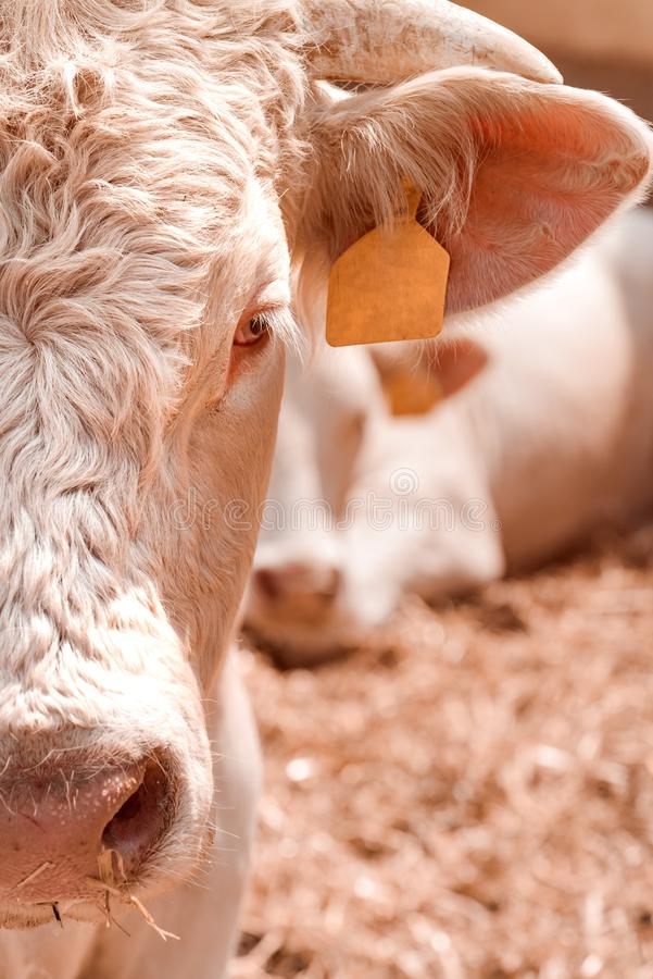 Blonde d`Aquitaine cattle on dairy farm. Blonde d`Aquitaine cattle cows on dairy farm, domestic animal husbandry royalty free stock photo