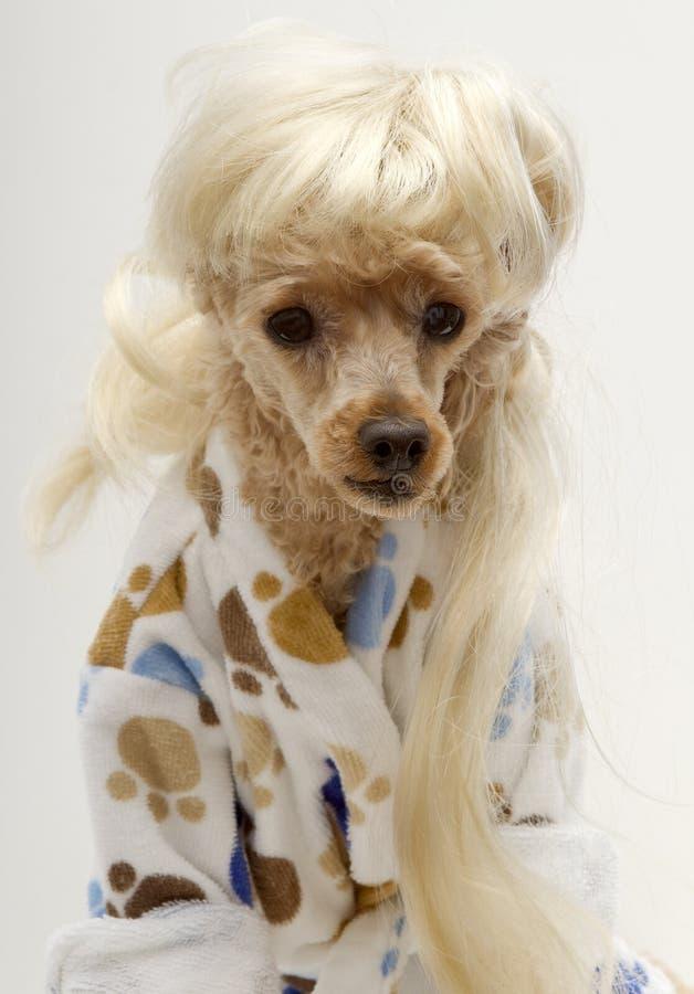 blonde poodle hairstyles blonde dog in bathrobe stock photos image 25534783
