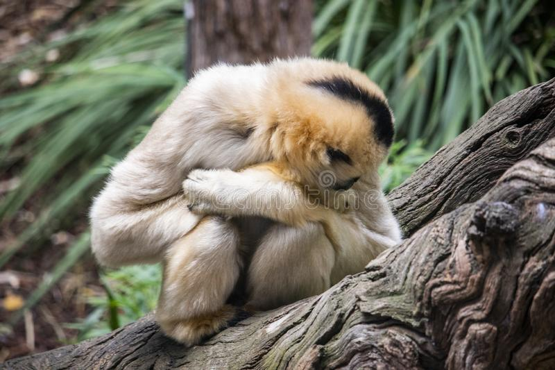 Blonde gibbon keeping warm on a log royalty free stock photo