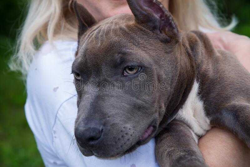 Blonde hugs Amstaff puppy stock photos