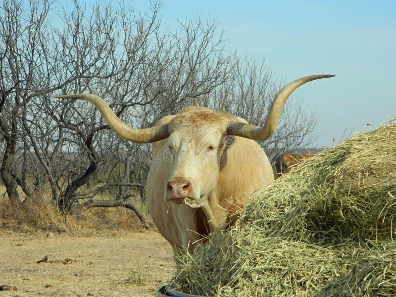 Texas longhorn steer blonde state herd stock photography