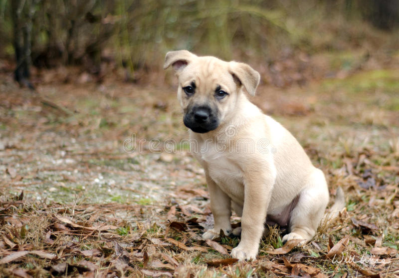 Blonde mixed breed pound puppy dog. Blonde mixed breed puppy dog , Walton County Animal Control, humane society adoption photo, outdoor pet photography royalty free stock images