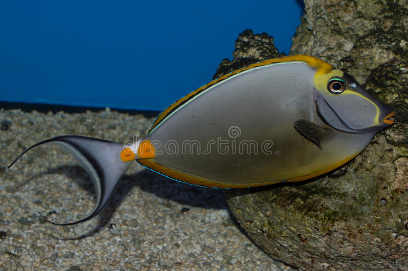 Male Blonde Naso Tang. The Blonde Naso Tang, also known as the Orange-spine Unicornfish, darkens with maturity. As a juvenile, it is gray with a yellow stripe on stock photography