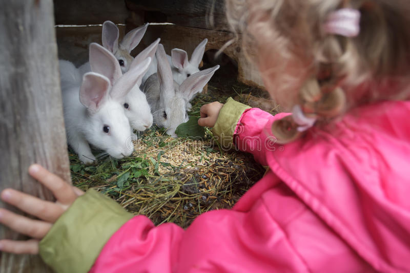 Blonde toddler girl giving fresh grass to farm domesticated white rabbits in animal hutch royalty free stock photos