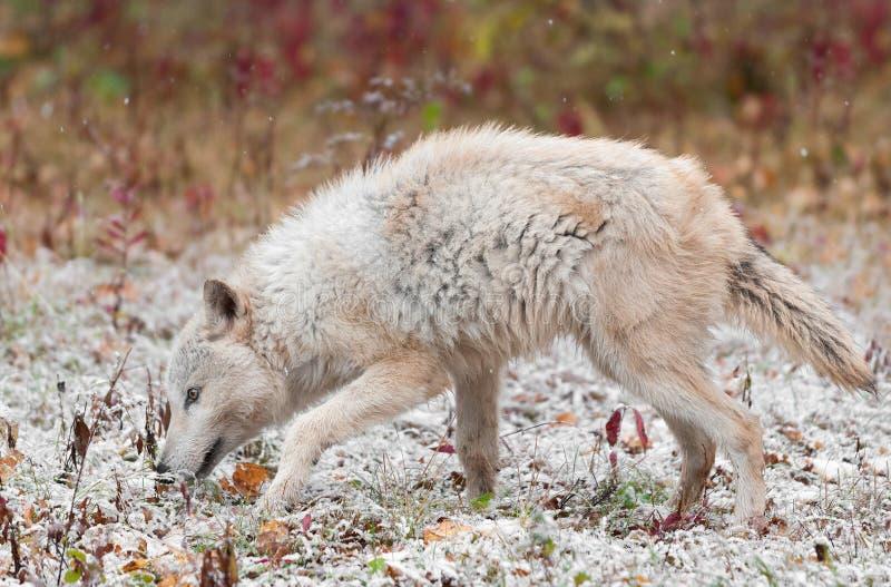 Blonde Wolf Sniffs Left in Vroeg Autumn Snowfall stock foto's