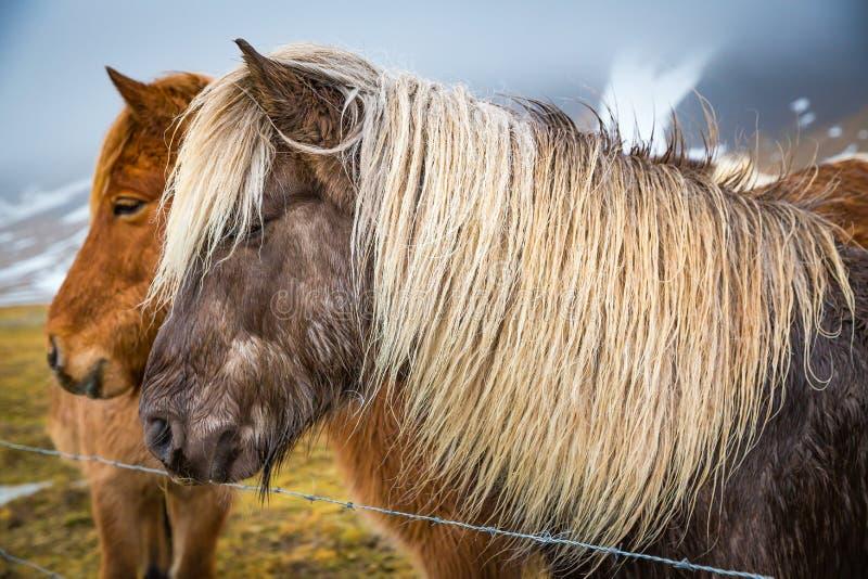Blondemanen op donker bruin Ijslands paard in de Winter 1 royalty-vrije stock foto