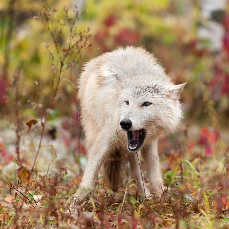 Blonder offener Mund des Wolf-(Canis Lupus) stockfoto