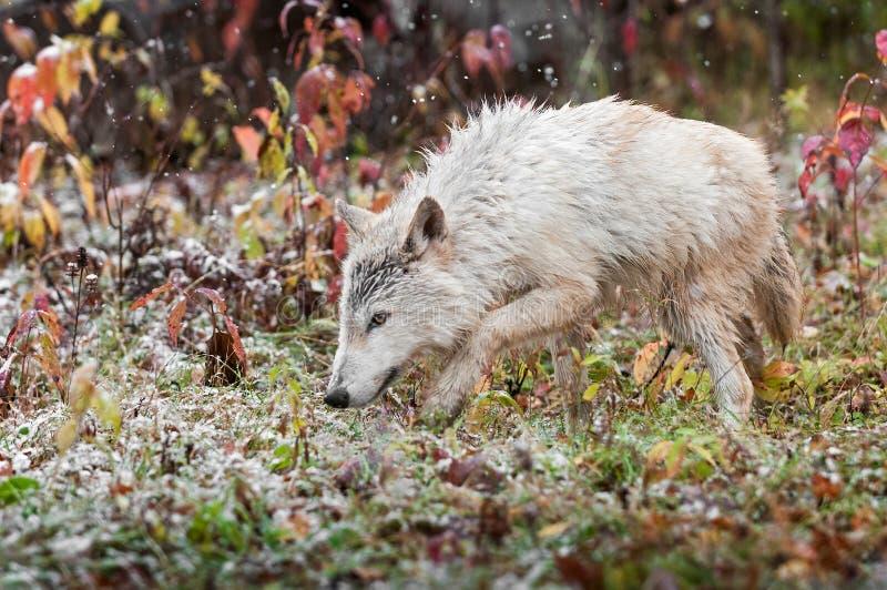 Blonder Wolf (Canis Lupus) pirscht sich durch das Gras an lizenzfreie stockfotos