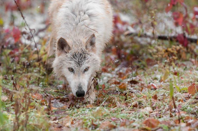 Blonder Wolf (Canis Lupus) pirscht sich vorwärts durch Gräser an stockbild