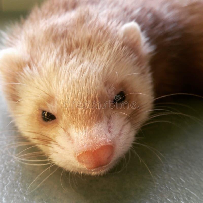 Blondes Frettchen mit einer süßen kleinen rosa Nase stockfotografie
