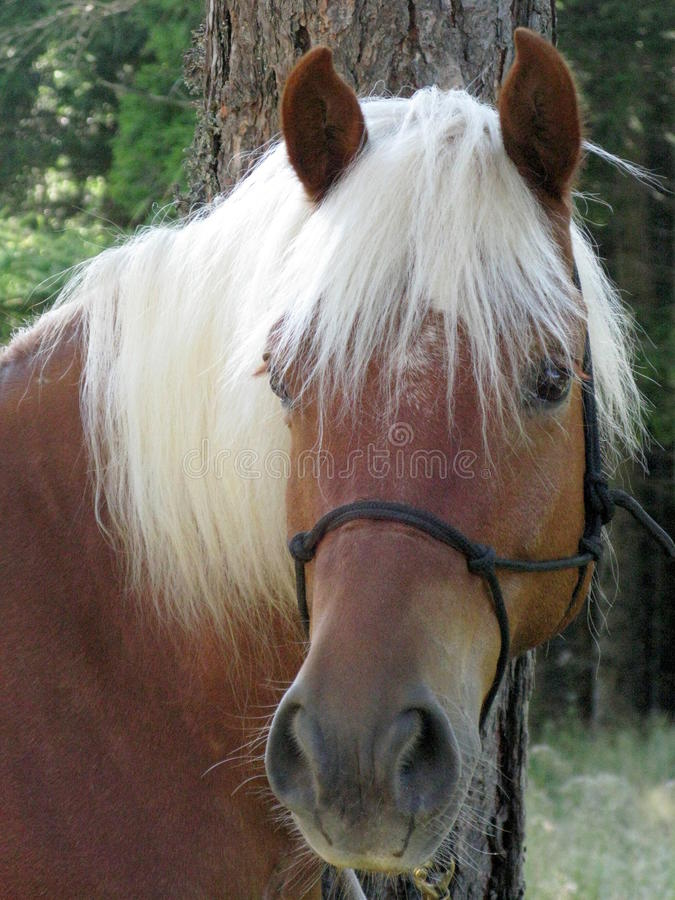 Blondes Pferd stockfoto