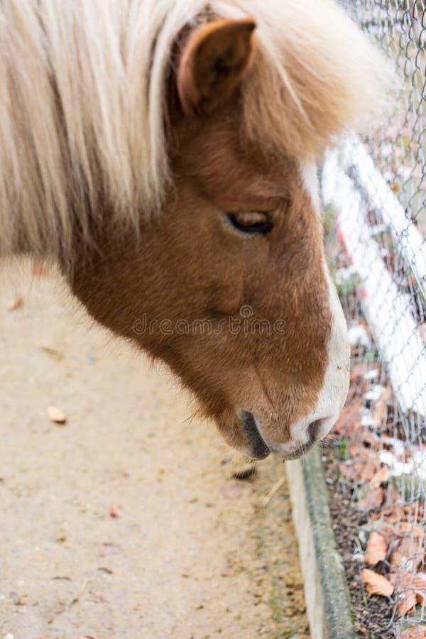 Blondynka konia zakończenia up kierowniczy widok zdjęcie royalty free