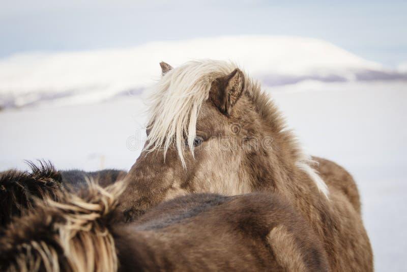 Blondynka z włosami Islandzki koń w śniegu w Iceland obraz stock