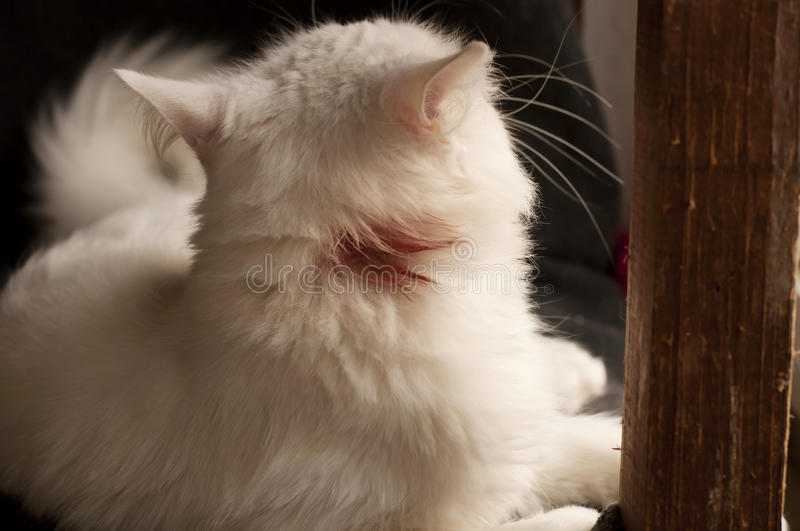 Blood on cat fur stock photo