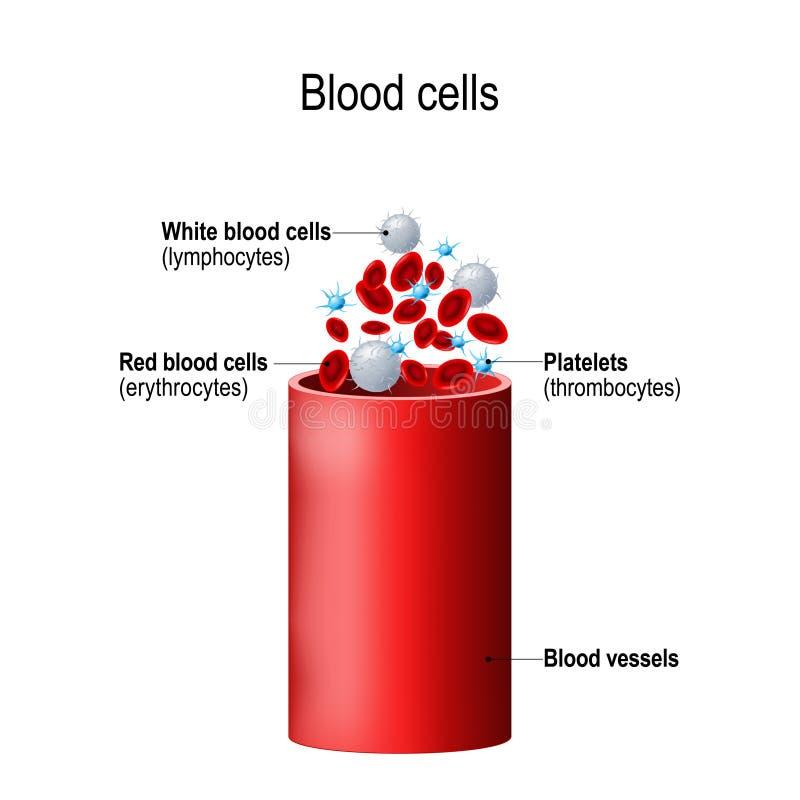 Blood cells and blood vessel. Formed elements: platelets thrombocytes, white blood cells lymphocytes, red blood cells erythrocytes vector illustration