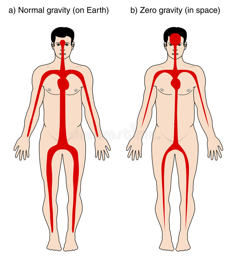 Blood distribution due to gravity vector illustration