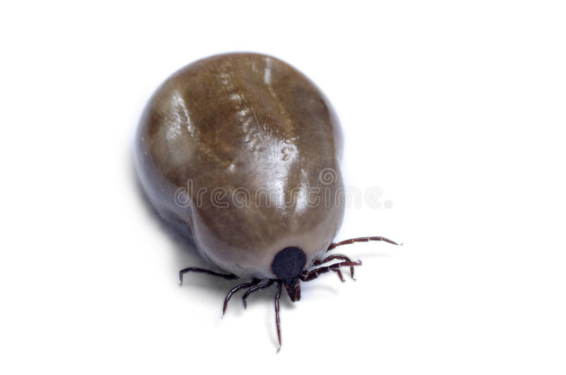 A blood-filled tick on a white background royalty free stock images