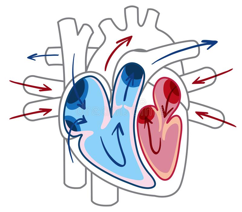 Blood flow of the heart diagram vector illustration