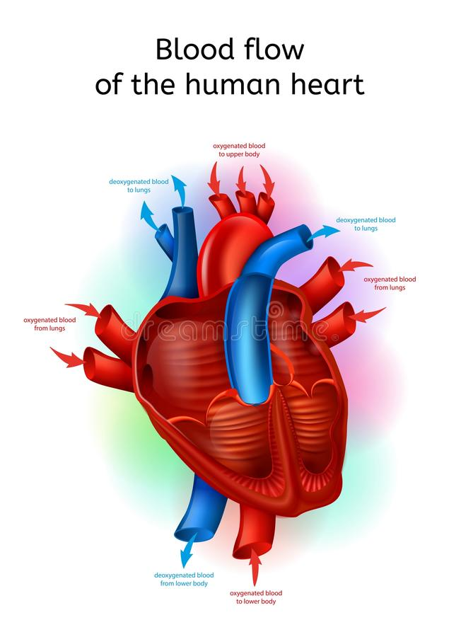 Blood Flow In Human Heart Realistic Vector Scheme royalty free illustration