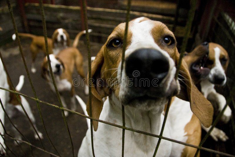 Blood Hound Dogs royalty free stock image
