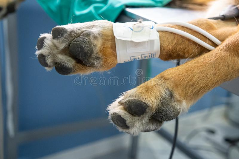 Blood pressure cuff in a dog stock photography