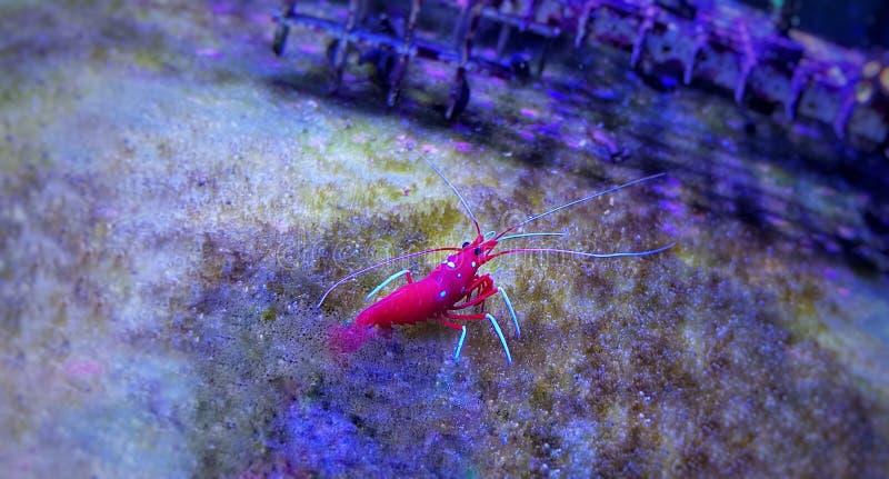 Blood Red火虾- Lysmata debelius 免版税库存图片