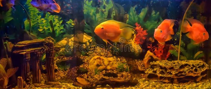 Blood Red Parrot Cichlid aquarium fish. Blood Red Parrot Cichlid is aquarium fish stock image