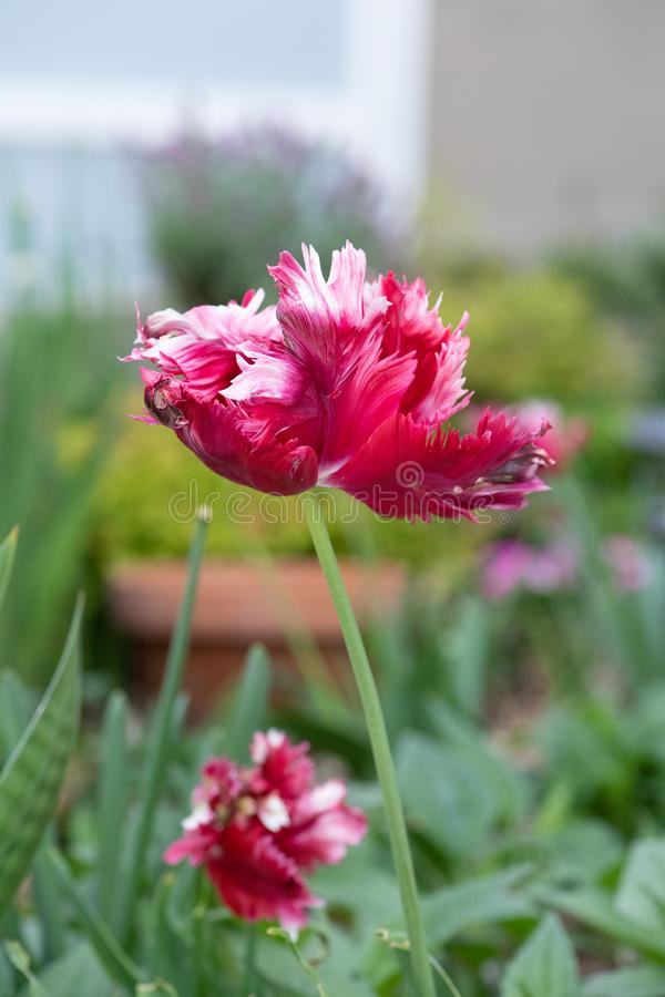 Blood red parrot tulips in urban rooftop garden royalty free stock photography