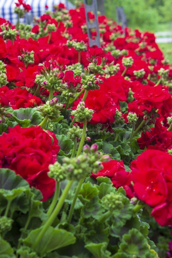 Pelargonium peltatum red flower ivy geranium. Blood-red pelargonium peltatum, ivy geranium double flower red stock photo