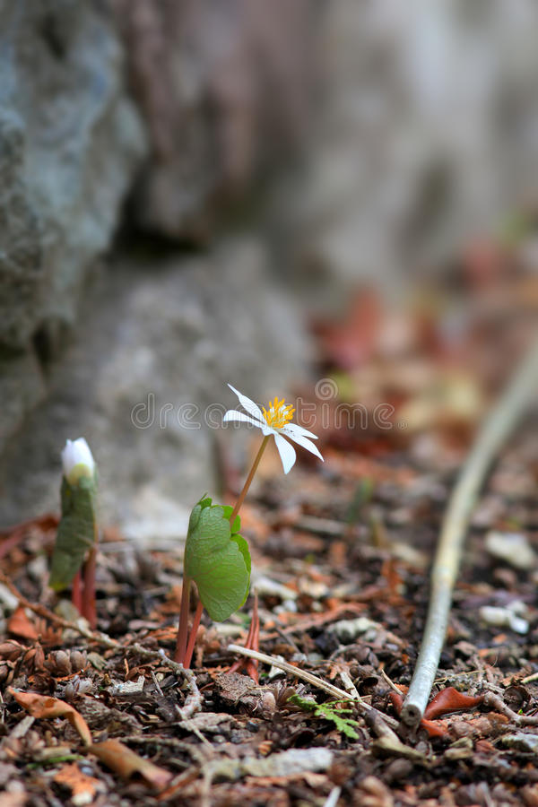 Blood root flower royalty free stock photography