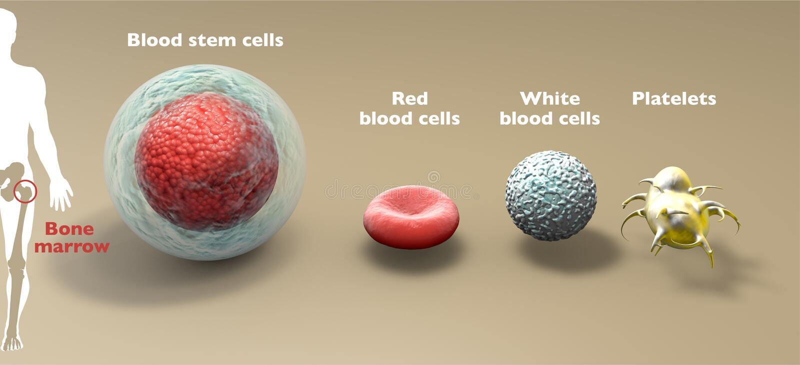 Blood stem cell is an immature cell that can develop into all types of blood cells: white blood cells, red blood cells, platelets. Blood stem cell is an immature vector illustration