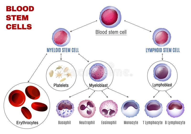Blood Stem Cells. Types. Editable vector illustration isolated on white background. Erythrocytes, plateletes, leukocytes, lymphocytes, monocytes and more vector illustration