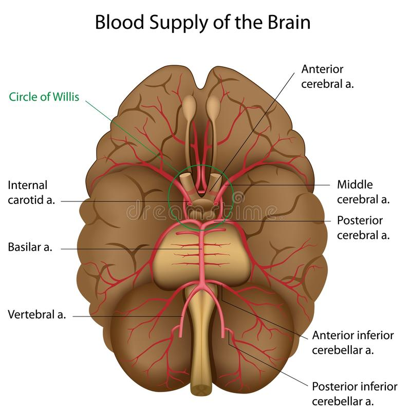 Blood supply of the brain vector illustration