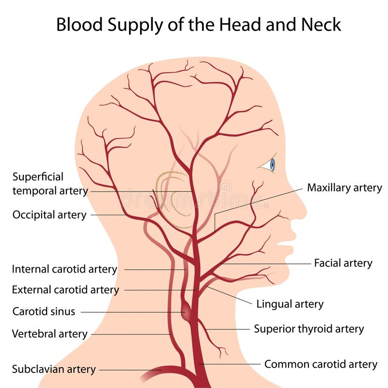 Blood supply of the head and neck royalty free illustration