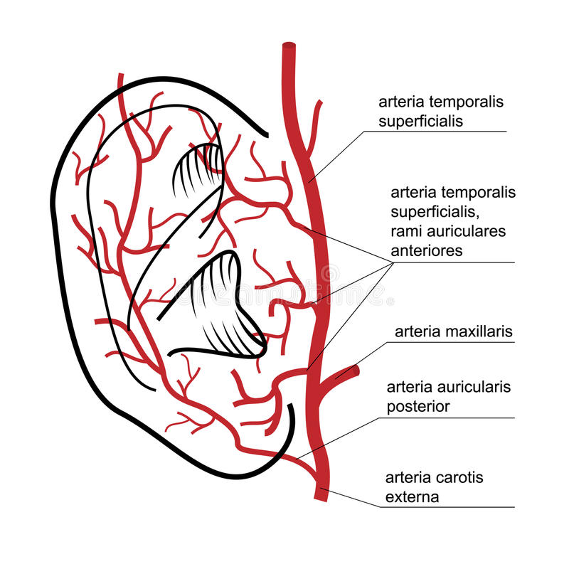 Blood supply to the ear of man. royalty free illustration