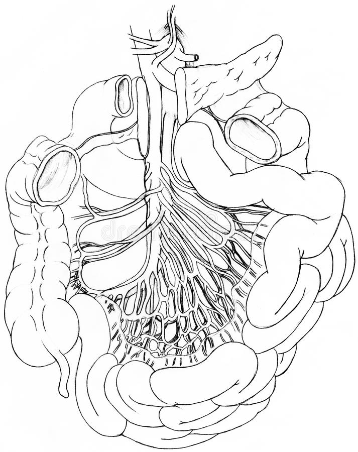 Blood Supply to and from the Intestines royalty free illustration