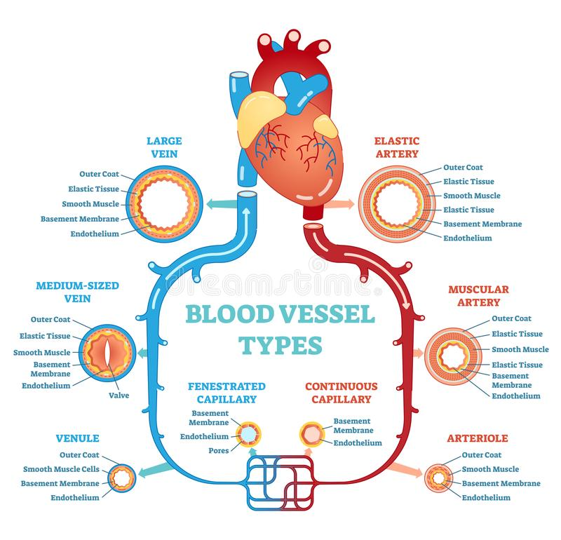 Blood vessel types anatomical diagram, medical scheme. Circulatory system. Medical educational information. stock illustration