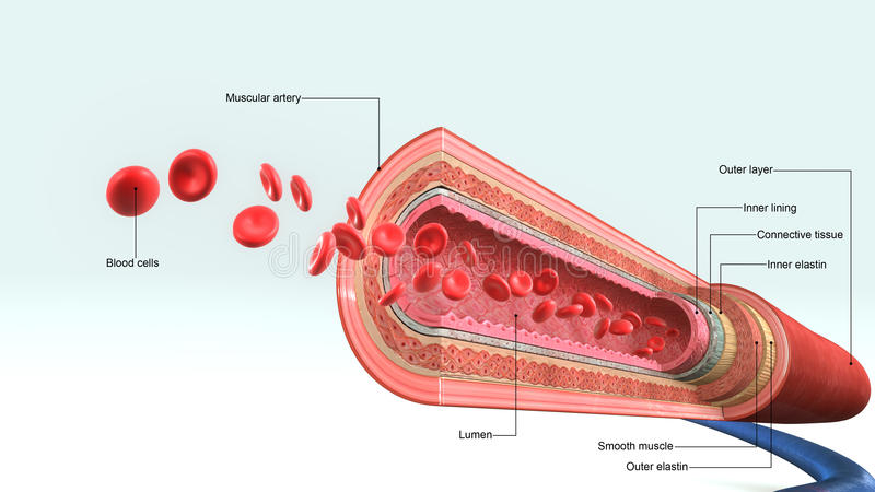 Blood vessel. S a tubular structure carrying blood through the tissues and organs; a vein, artery, or capillary. Blood enters the heart through two large veins vector illustration
