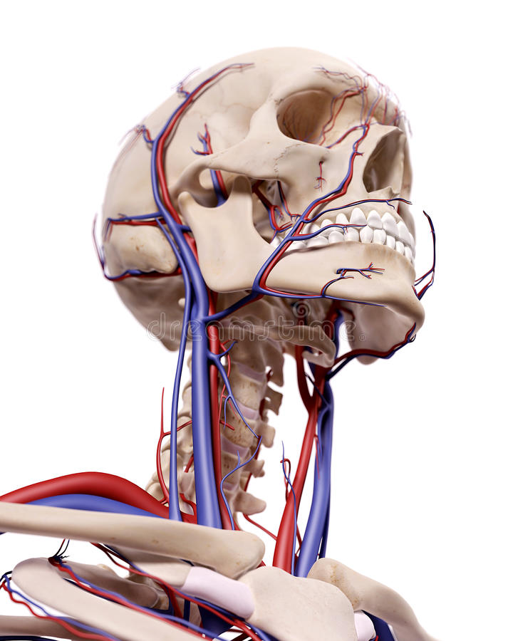 The Blood Vessels Of The Head Stock Illustration Illustration Of